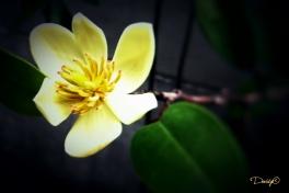 Coconut Magnolia